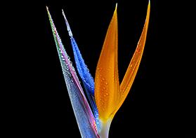 Zodiac Aquarius Prismatic Bloom
